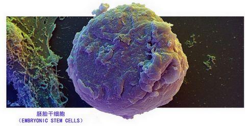 胚胎干细胞