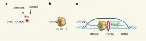 DNA染色体变化