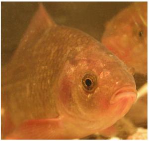 鲫鱼能自动恢复经冬受损的大脑