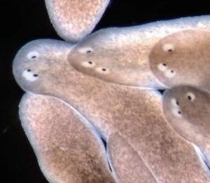 Regenerating tissues2