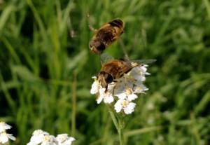 图1 食蚜蝇