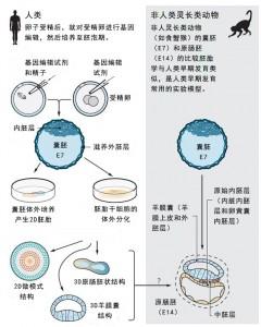 胚胎发育的实验研究