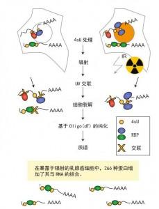 采用乳腺癌细胞来研究DNA损伤响应的方法
