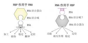 RNA与RBP之间的作用是双向的