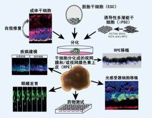 视网膜细胞