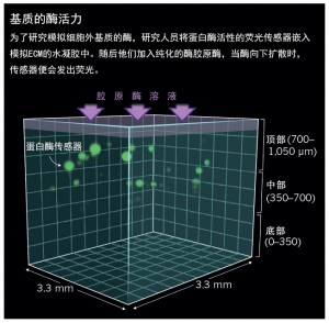 胞外基质模拟物重塑细胞研究2