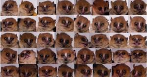 小鼠狐猴或将成为遗传研究新模型2