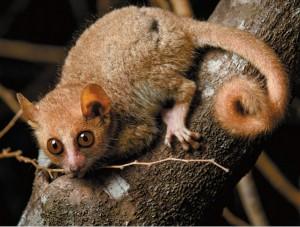小鼠狐猴或将成为遗传研究新模型3