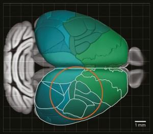 这个2p-RAM的仪器的视野(橙色)可以一次对小鼠大脑的大部分区域进行成像。
