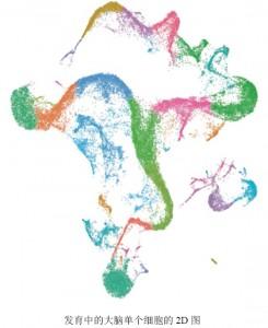 发育中的大脑单个细胞的2D图