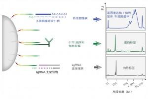 来自Smibert、Satija等人的ECCITE-seq方法捕获了包括基因表达(GEX)、T细胞受体(TCR)和B细胞受体(BCR)序列在内的多模态信息,以及来自单个免疫细胞的蛋白表达