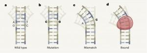 DNA错配影响蛋白质-DNA的结合