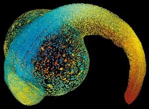 机械力控制胚胎生长,生命成形