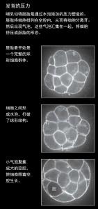 机械力控制胚胎生长,生命成形1