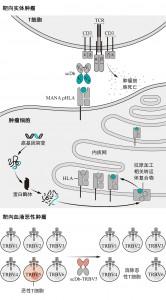 利用双特异性抗体靶向癌症治疗