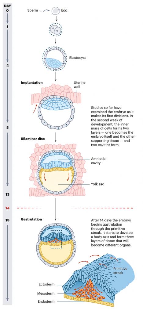 体外胚胎研究展望-2 copy